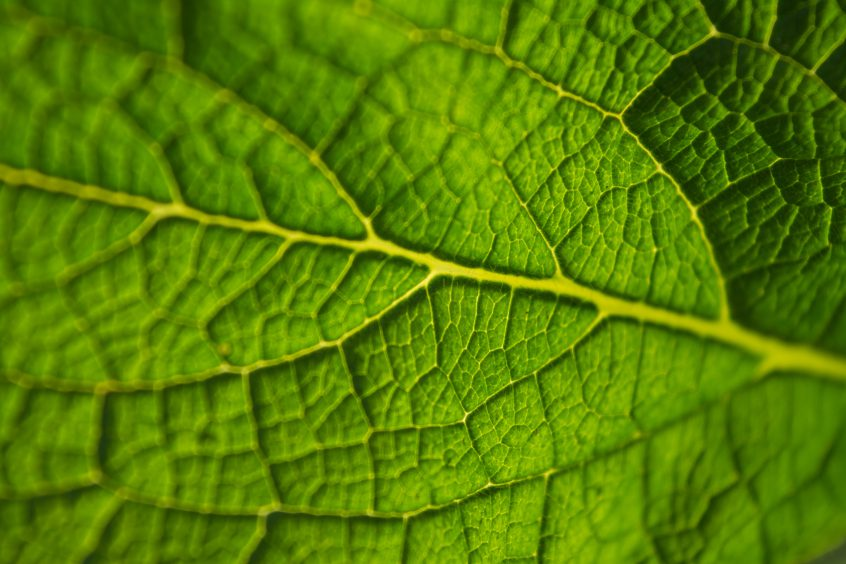Close-up of a deciduous leaf