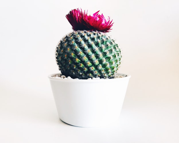 Single green cacti in a pot with a pink flower on top
